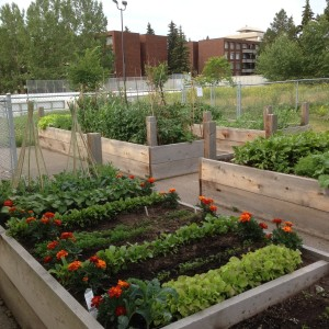 Wooden raised beds used in Varsity Community Garden during gardening season.