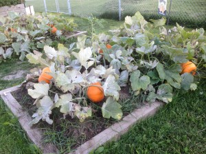In-ground bed used as pumpkin patch at the Varsity Community Centre, Calgary, AB.